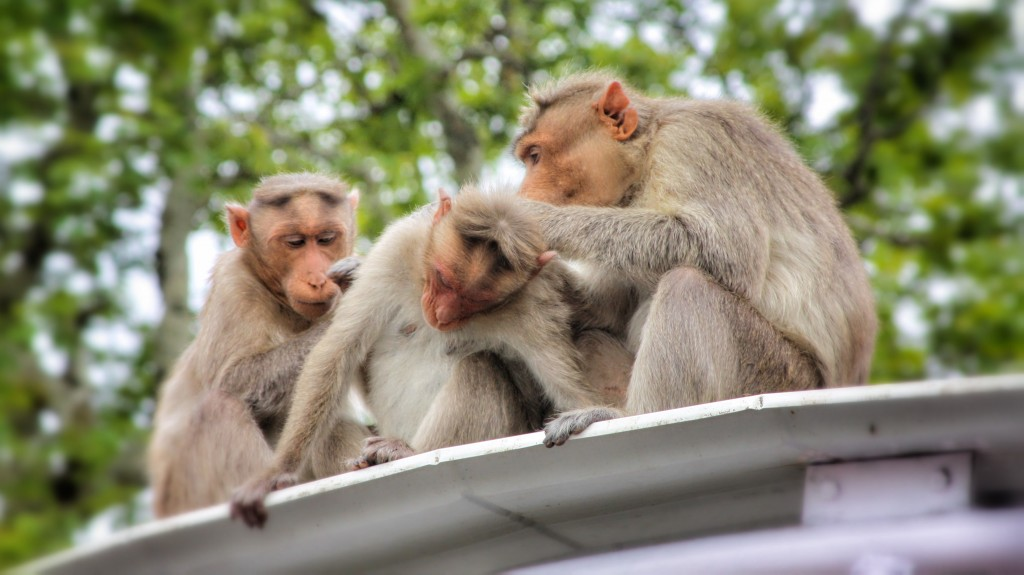 Monkeys grooming each other in India.